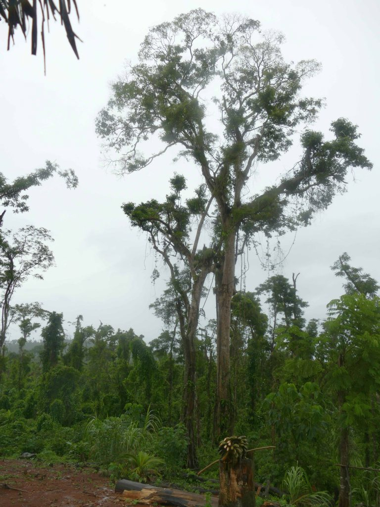 Surviving giants in the hurricane damaged forest.
