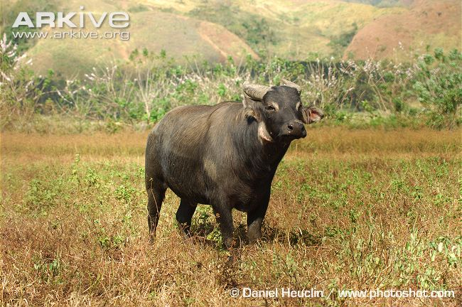 Tamaraw-front-view
