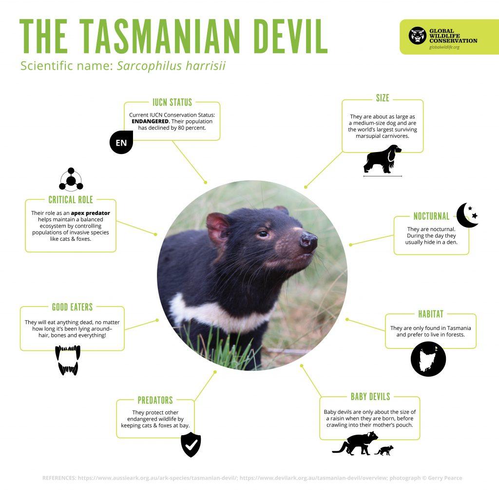 Tasmanian-Devil-Infographic