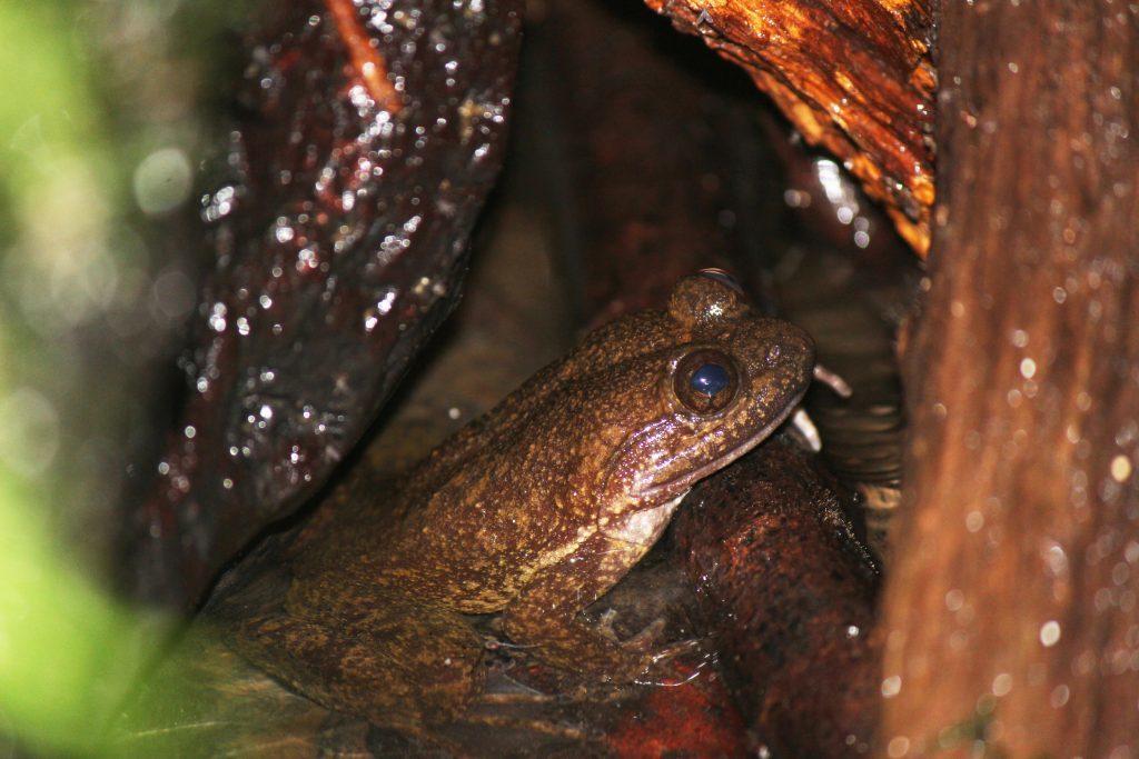 Togo-Slippery-Frog_photo-by-Jeremy-Lindsell