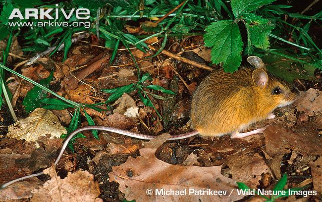 Woodland-jumping-mouse-on-forest-floor