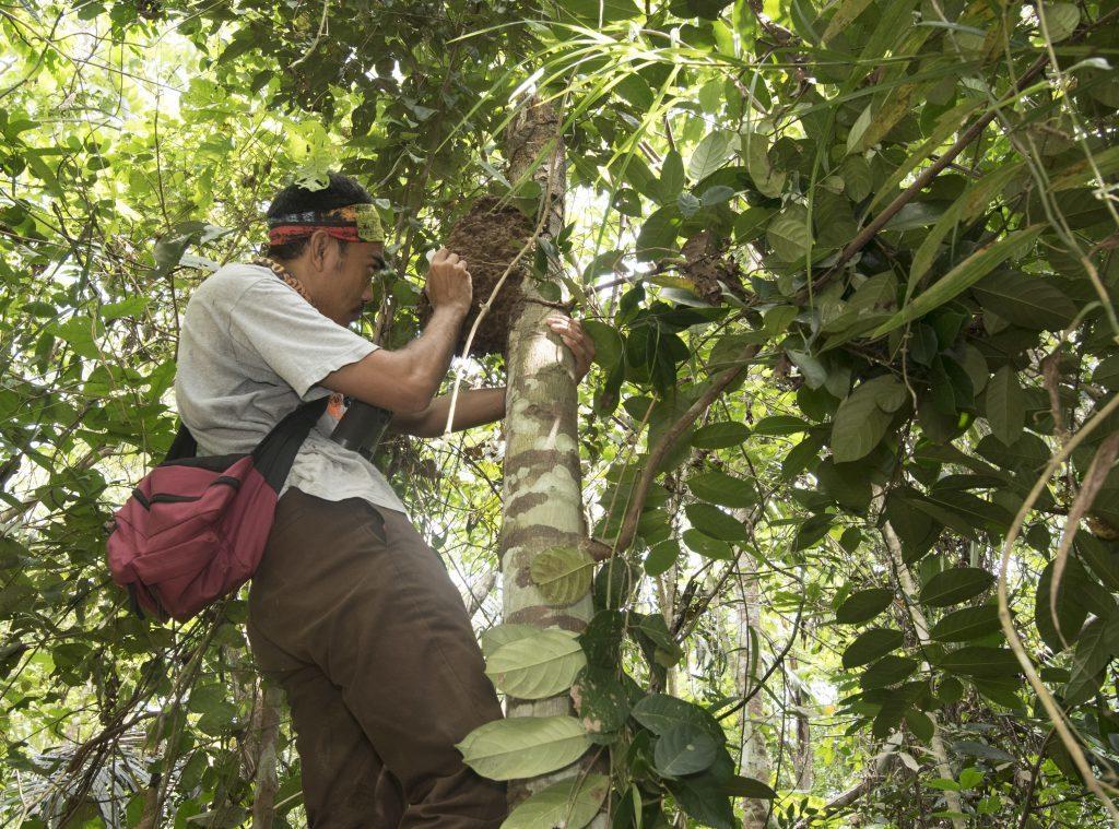 Scientist examines an arboreal termite mound