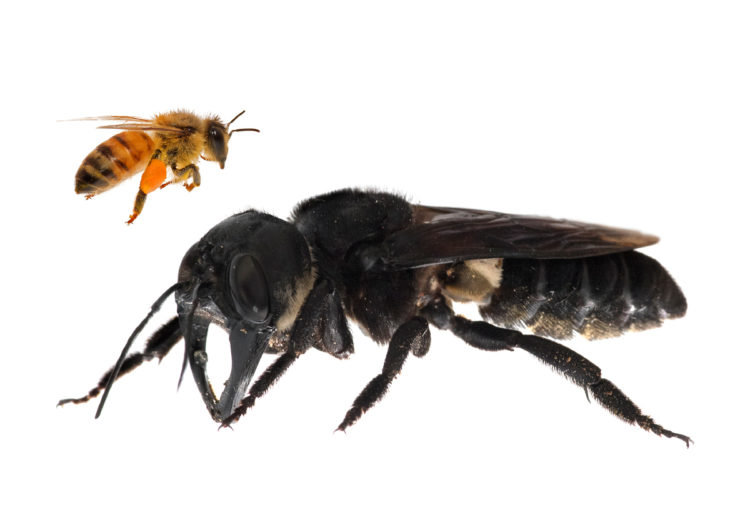 One of the first images of a living Wallace's giant bee. Megachile pluto is the world's largest bee, which is approximately four times larger than a European honeybee. © Clay Bolt : claybolt.com