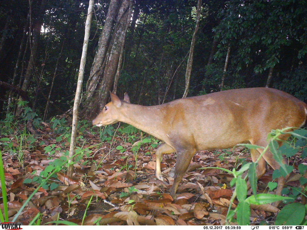 Large-antlered Muntjac. (Photo by Southern Institute of Ecology / Leibniz Institute for Zoo and Wildlife Research / Global Wildlife Conservation / Saola Working Group)
