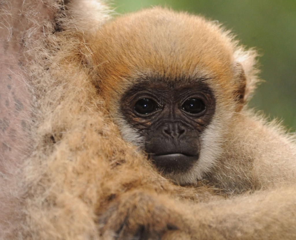 Critically Endangered baby Northern Muriqui. © Russ Mittermeier
