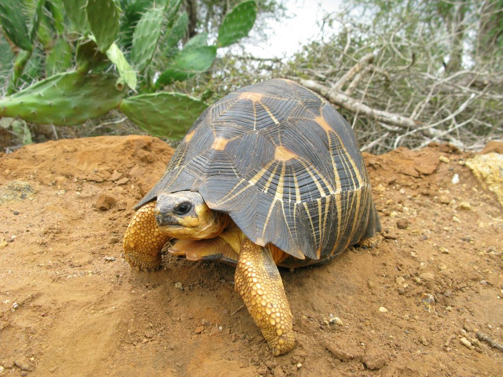 Radiated Tortoise. (Photo by Ryan Walker)