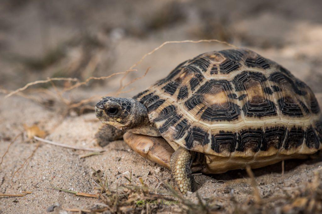 Spider Tortoise. (Photo by Scott Trageser)