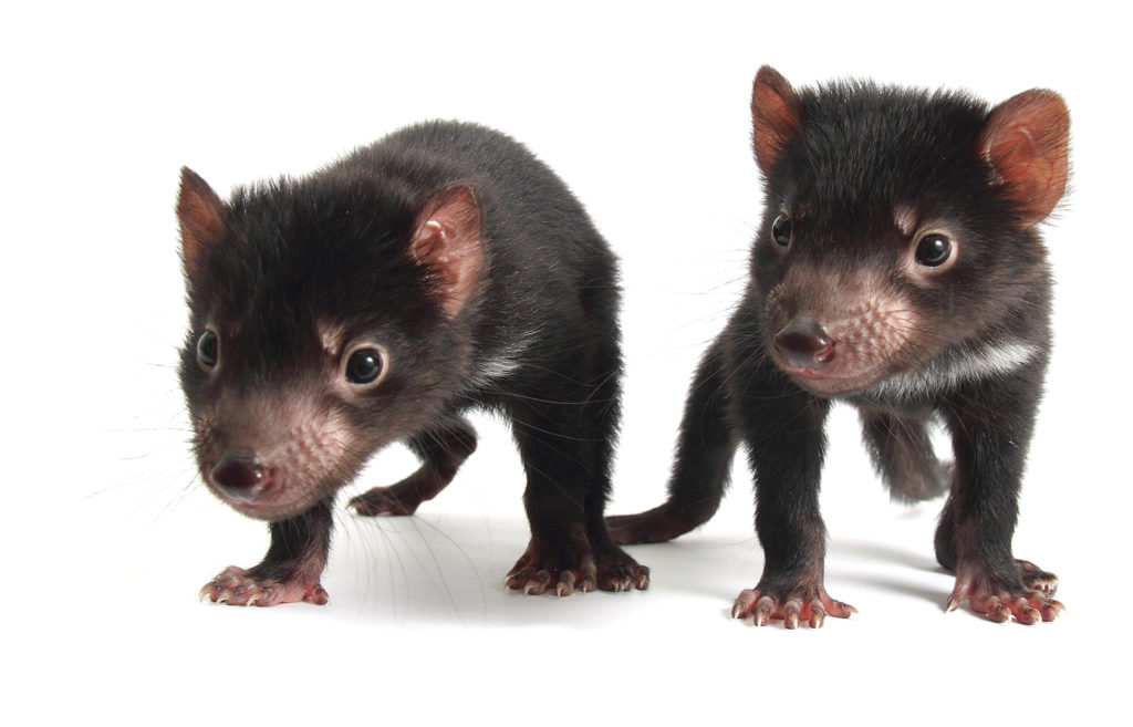Tasmanian Devil joeys provide the future hope for the species. (Photo courtesy of Devil Ark)