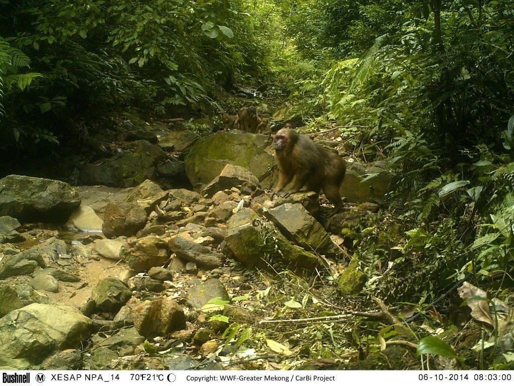 stump-taild-macaque