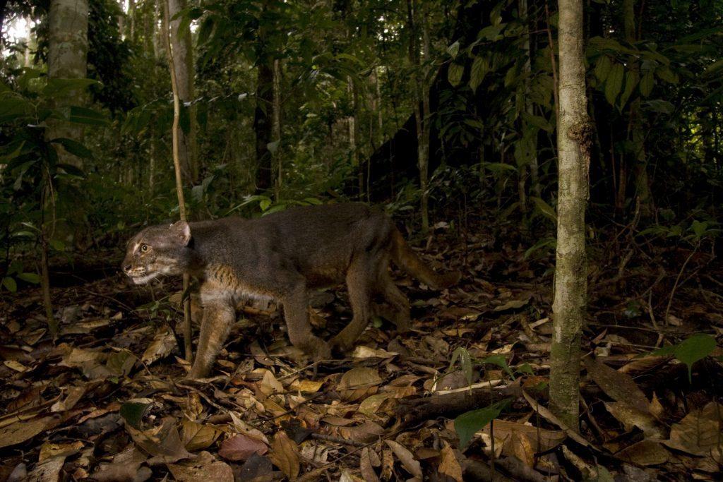 Bay Cat, Malaysia