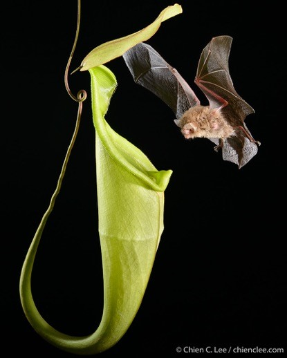 Pitcher Plant with Bat
