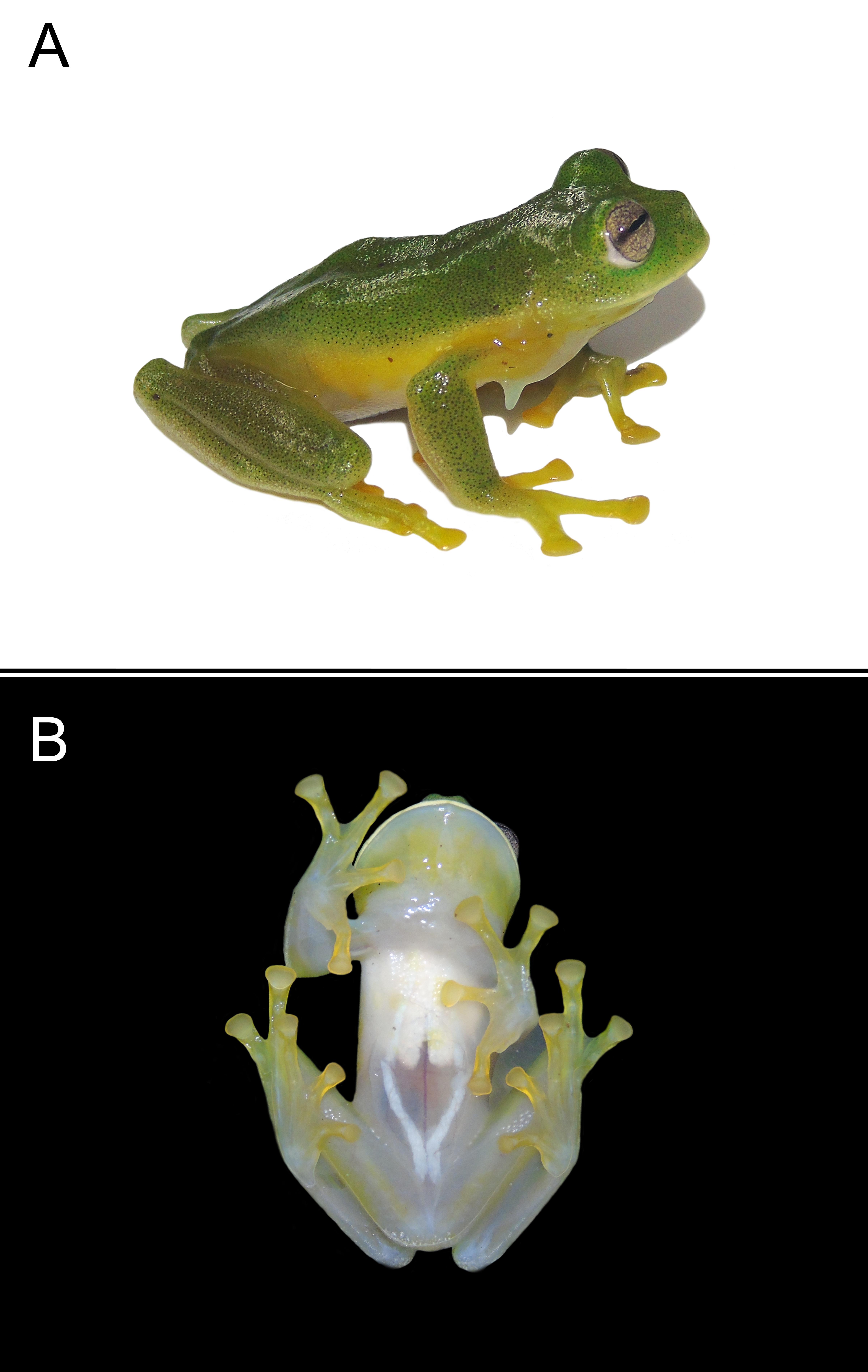 La rana gigante de cristal de la Guajira, asi como otras ranas de cristal, tienen piel transparente, por eso su nombre. Pero a diferencia de las demas ranas de cristal, esta especie y su gemela la rana gigante de cristal de Magdalena tienen huesos blancos en vez de verdes. Foto por PLOS ONE.