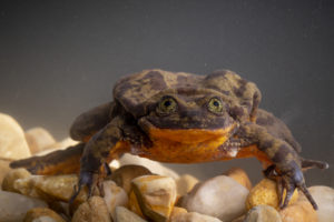 Romeo the Frog
