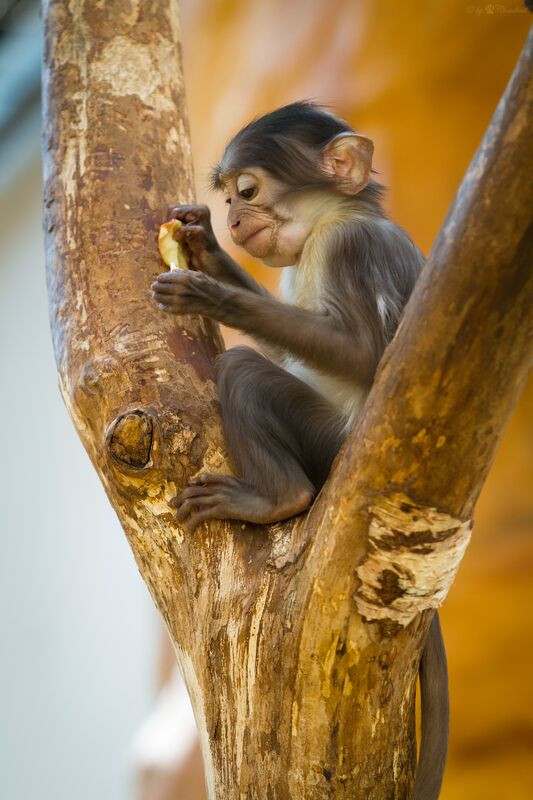 White-naped mangabey monkey threatened with extinction in Atewa Forest