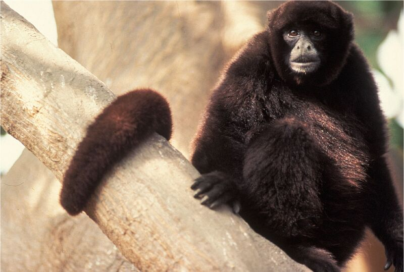 Yellow-tailed Woolly Monkey picture in the wild