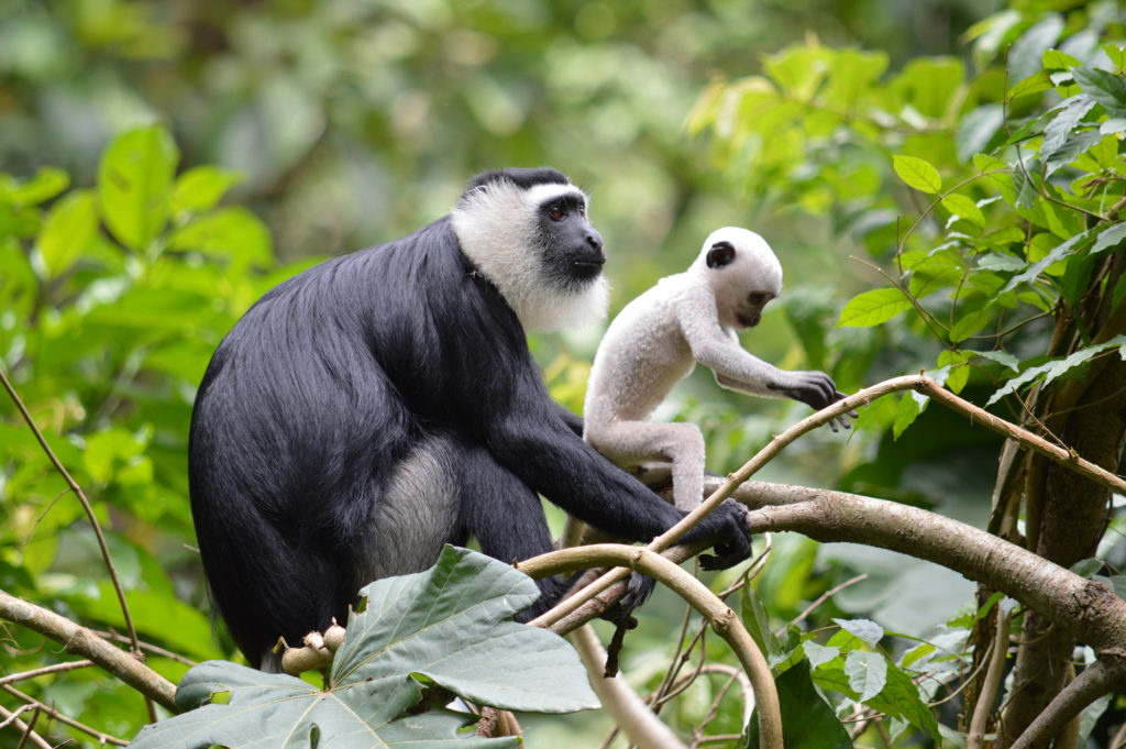 White-thighed-colobus
