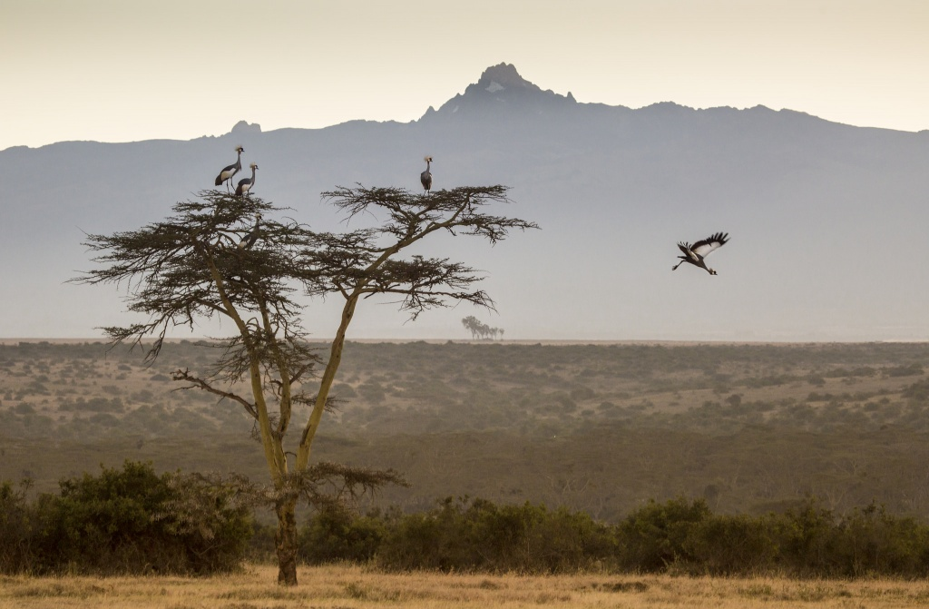 flying crowned cranes