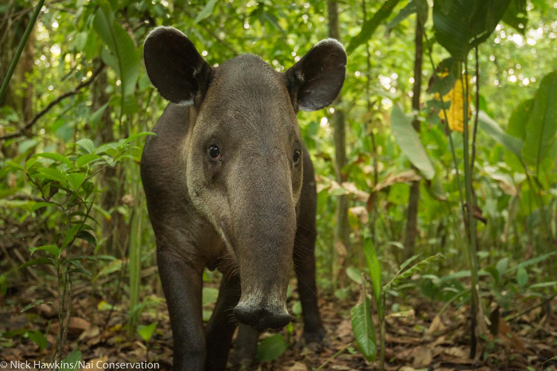 female Baird's tapir