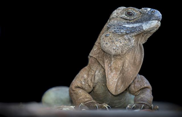 Wild adult Jamaican iguana.