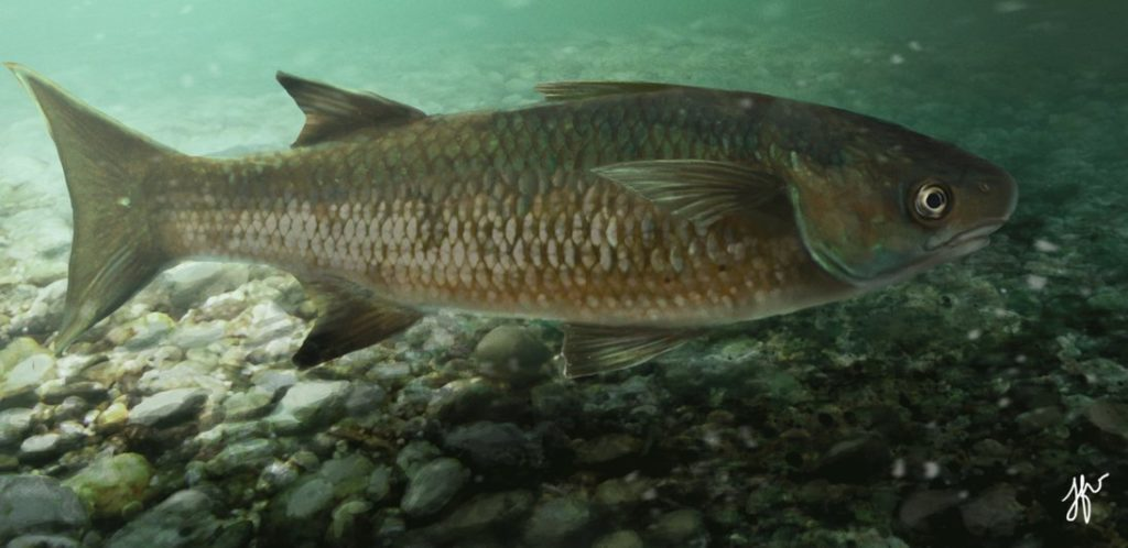 Bobo Mullet fish common to the Indian River and affected by pesticide fishing