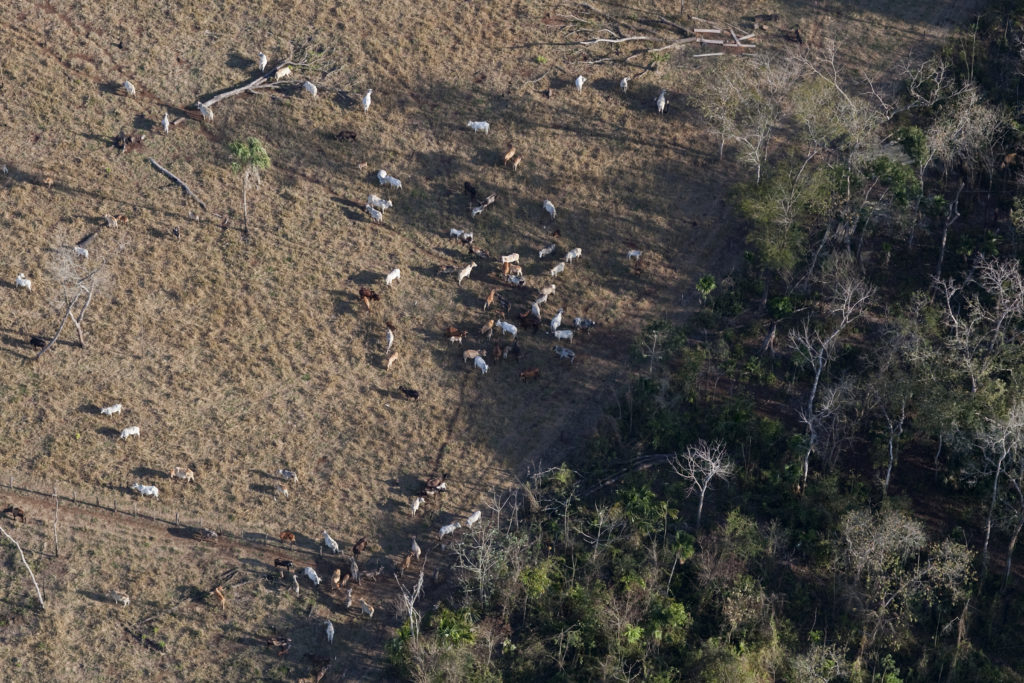 Cattle ranching and forest destruction