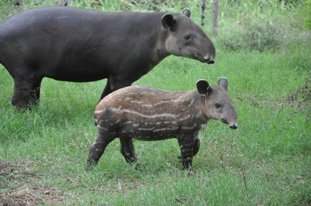 Baird's tapir with child