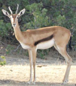 Rediscovered Eritrean Gazelle