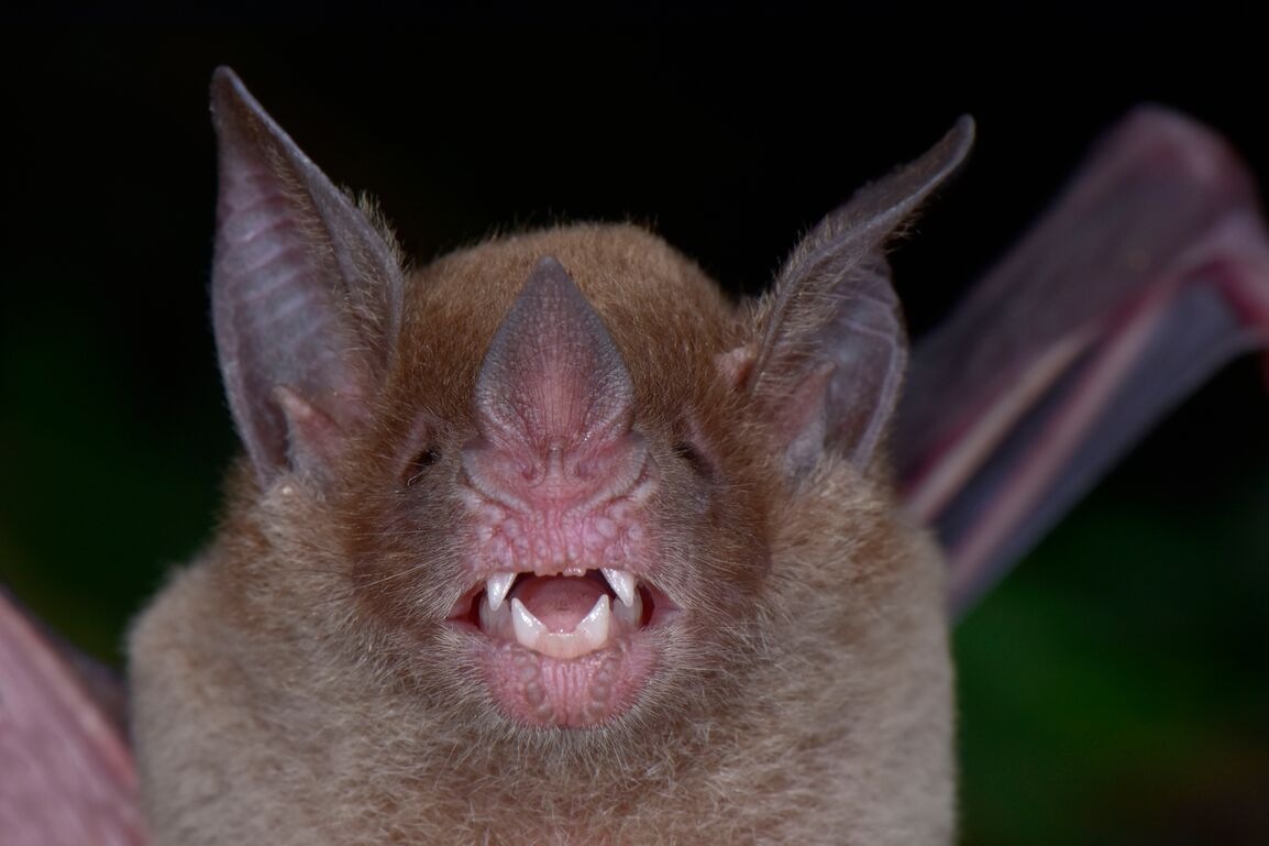 Newly rediscovered Pale-faced Bat in Honduras