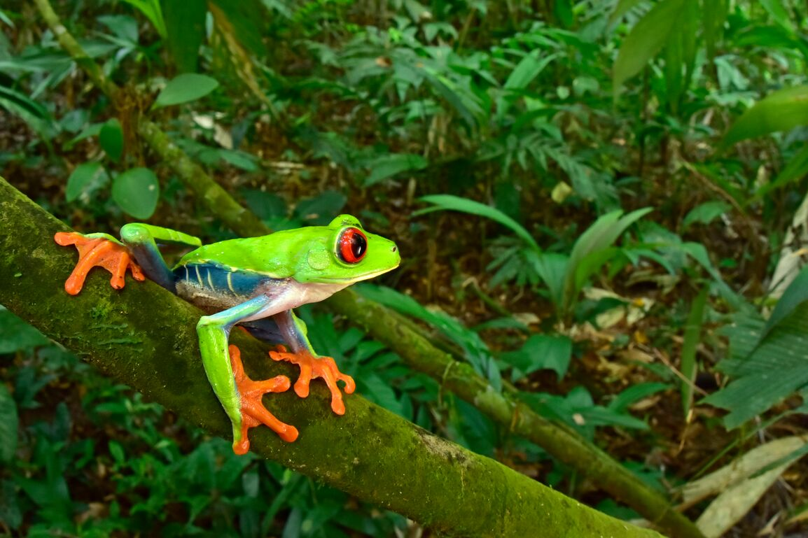 Red-eyed Tree Frog in Moskitia Forest, Honduras