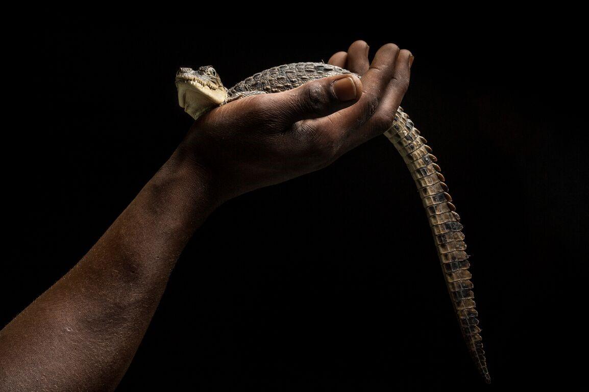 Man holding baby crocodile in hand