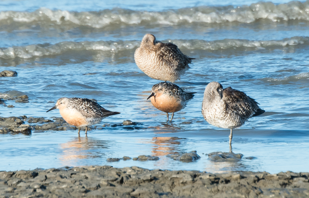 red knot in california