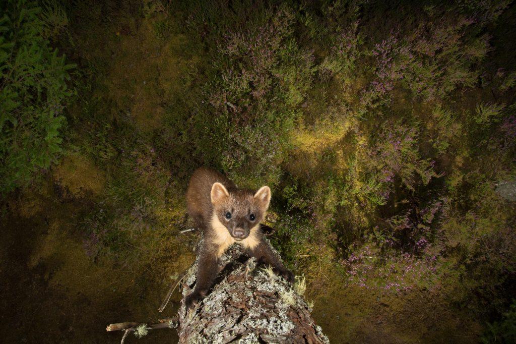 Pine Marten on a tree