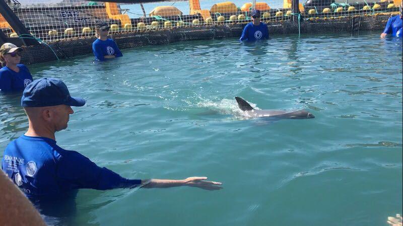 vaquita in water