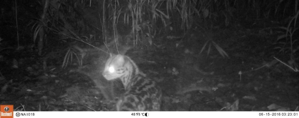 Tigrina camera trap in Costa Rica