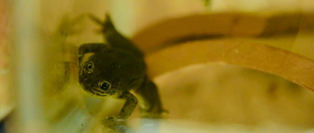 Rescued Loa Water Frog at the National Zoo of Chile