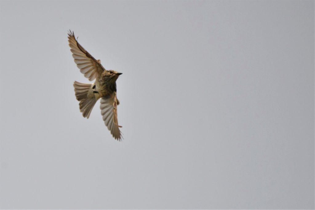 Flychatcher bird in flight