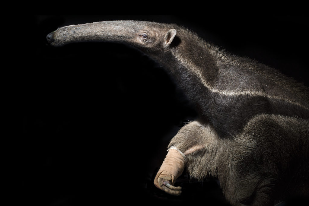 Rescued Giant Anteater