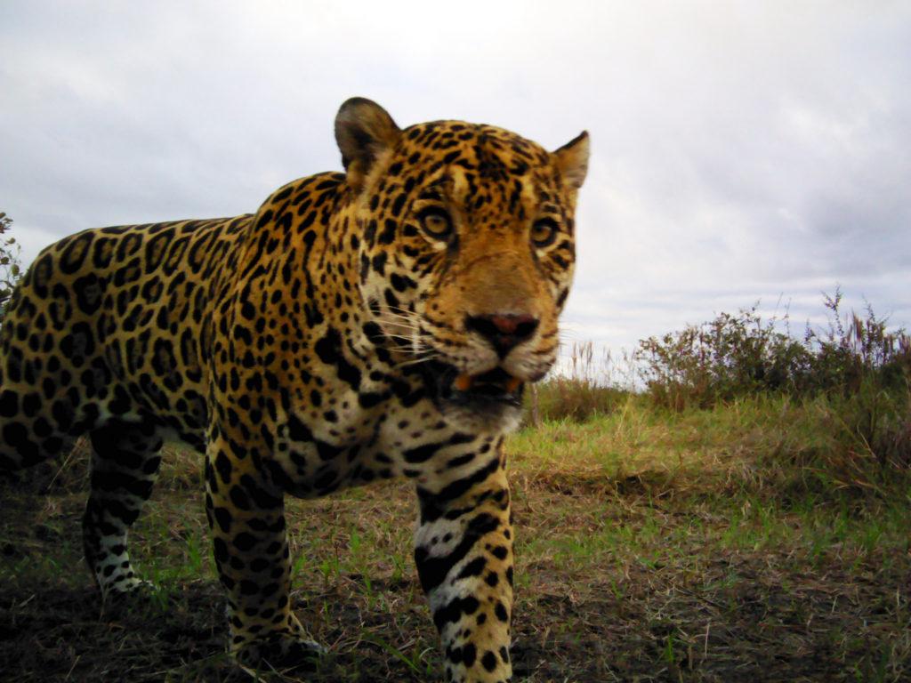 Jaguar in Bolivia