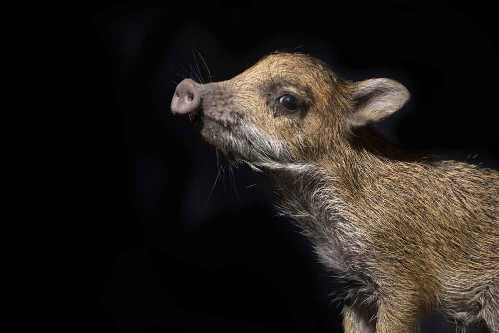 Wildlife rescue in Bolivia, including this White-lipped Peccary