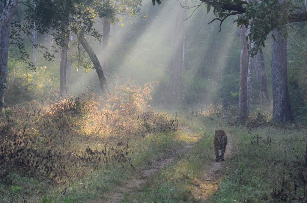 Bengal tiger in India.