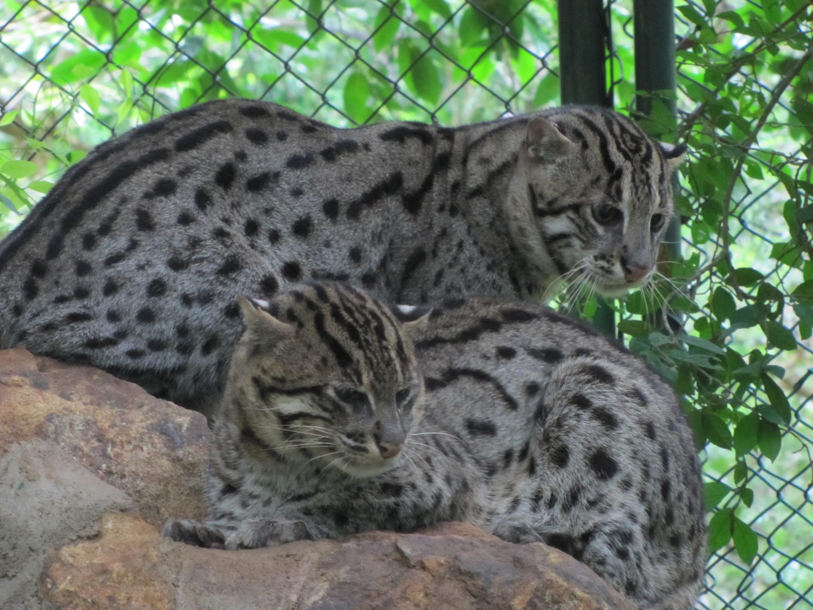 Fishing cats in captivity.