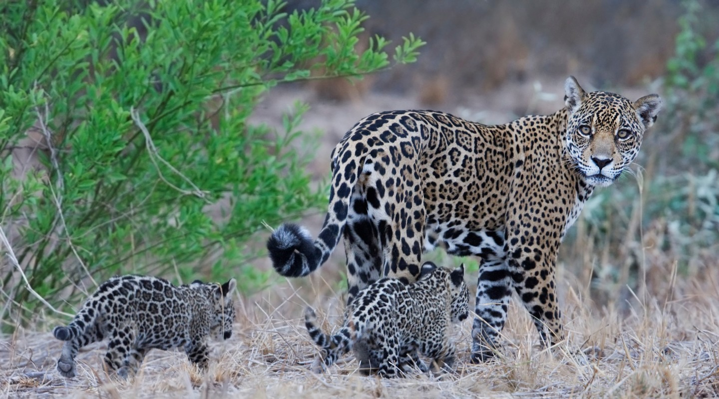 A Jaguar and its cubs in the Bolivian Chaco.