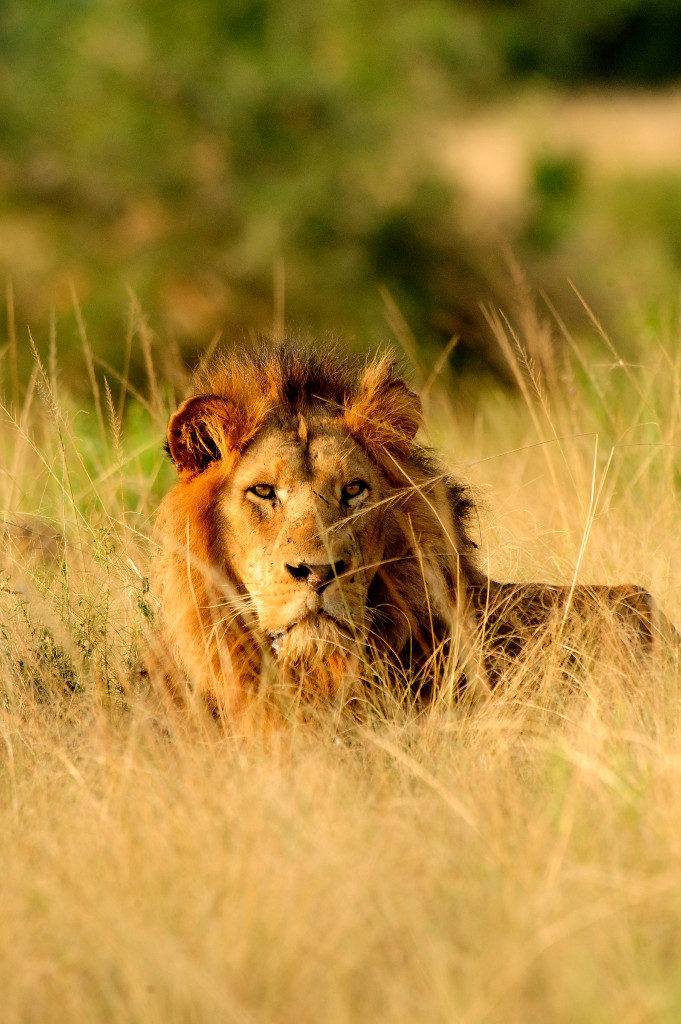 An African lion in the wild, Uganda.