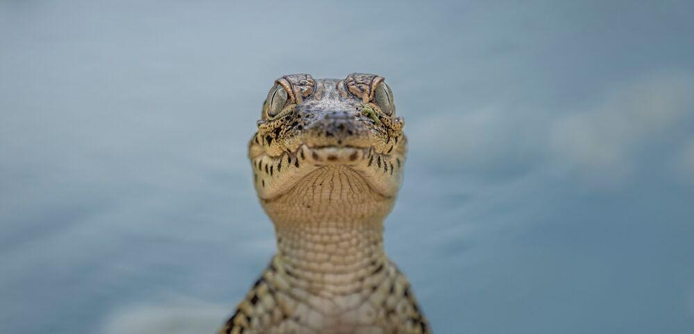 Young Cuban Crocodile