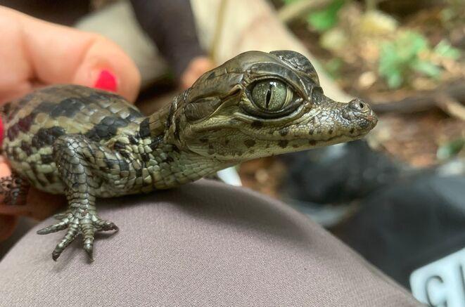 Apaporis Caiman close-up