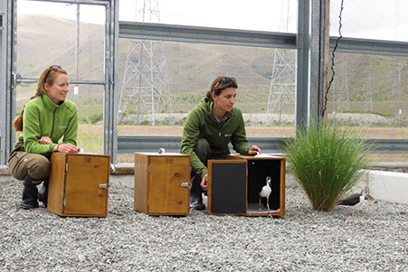 Staff from the DOC release the first Kakī chicks into the new aviary