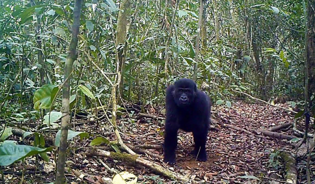 A camera trap photo of a gorilla in Ebo Forest in Cameroon