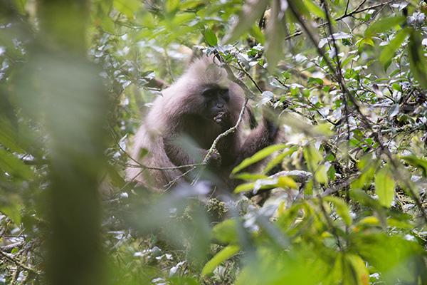 Kipunji Monkey in Tanzania. Credit: John C. Mittermeier