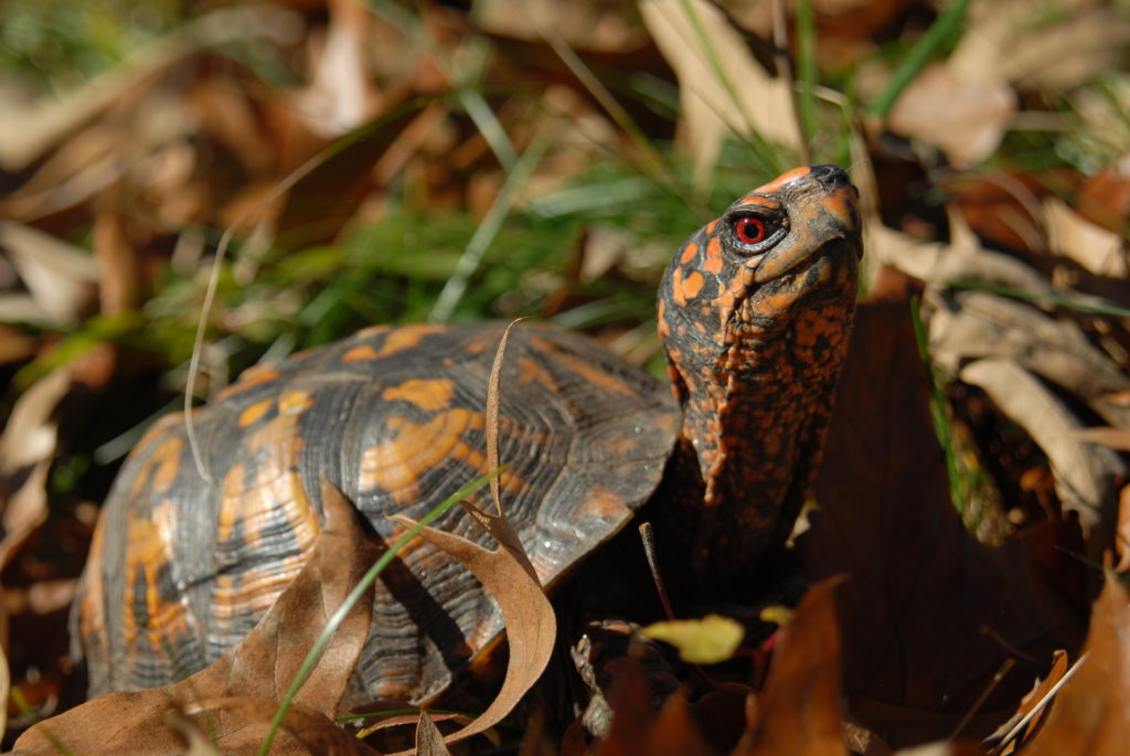 An Eastern Box Turtle with a dark brown and bright orange shell extending its head and neck up.