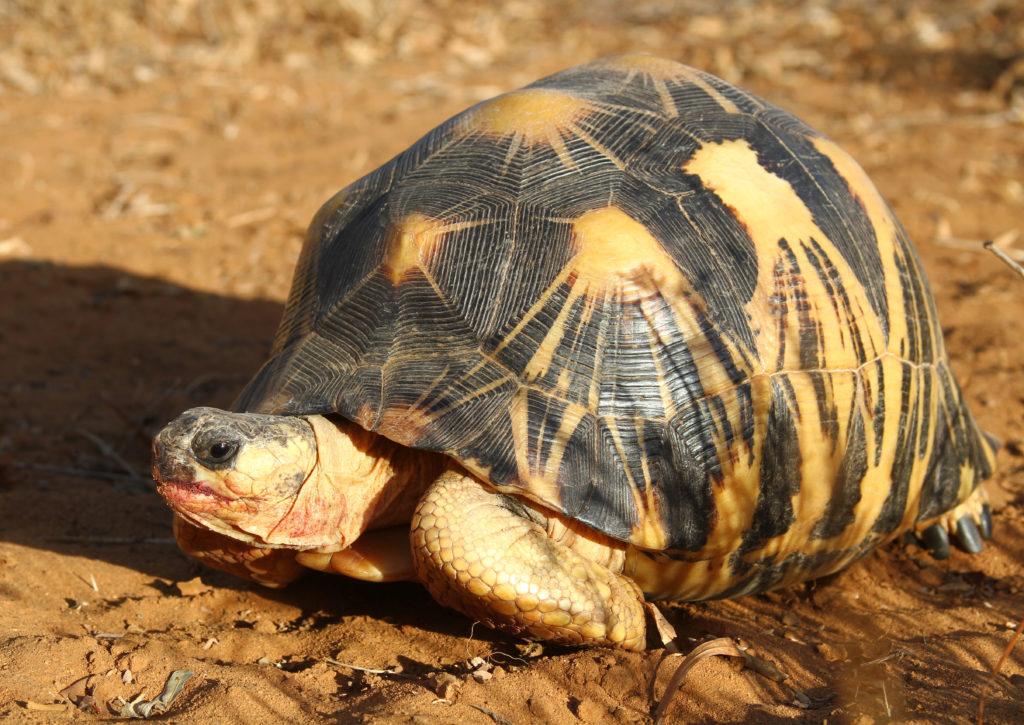 A radiated tortoise.